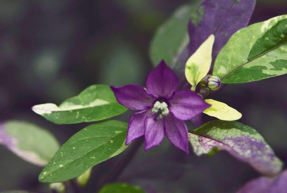 五色唐辛子の花